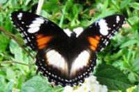 Kupu-kupu yang Indah
